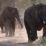 Wüstenelefanten Nambia